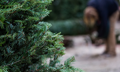 christmas tree trimming in denver